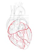 Human heart coronary arteries, illustration