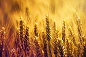 Golden ears of wheat in field