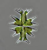 Micrasterias mahabuleswarensis alga, light micrograph
