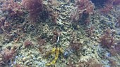 Angling for a black-faced blenny