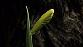 Daffodil opening, timelapse