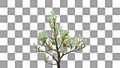 Salix helvetica bonsai, timelapse