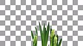 Narcissus erlicheer flowers, timelapse