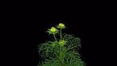 Cosmos flower opening, timelapse