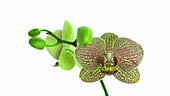 Phalaenopsis orchid, timelapse
