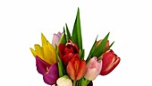 Tulips opening, timelapse