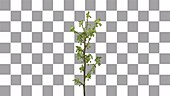 Redcurrant branch, timelapse