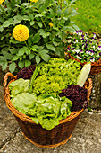 Various types of lettuces in basket