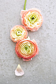 Three ranunculus flowers on concrete surface