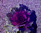 Ornamental Brassica Cabbage