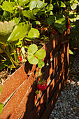 Ripe and Unripe Strawberries Hanging From Vines in Raised Bed