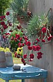 Dianthus caryophyllus ( Gebirgshängenelken ) in Tontöpfen an Wand gehängt