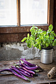 Purple Aubergines and basil plant