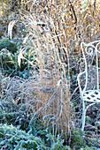 Chinaschilf gefroren im winterlichen Garten
