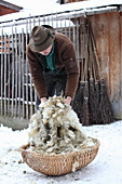 A man putting freshly shorn sheep's wool in a basket