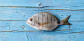 Seabream on a blue wooden background