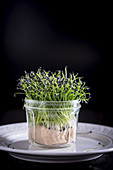 Rock Chive Cress on a dark background