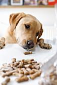 Knochenförmige Sardellen-Kürbis-Kekse mit Hund