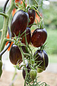 Black tomatoes on a vine: 'Shadow Boxing' variety