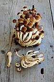 Fresh poplar mushrooms on a wooden surface