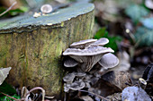 Oyster mushrooms in a forest