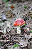 Fly agarics in forest