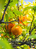 Portuguese oranges growing on a tree (Algarve region)