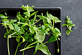 Fresh chickweed on a black tray