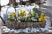 Korbkasten mit Winterlingen und Blausternchen
