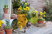 Vorfrühlings-Arrangement mit Winterlingen und Hyazinthen