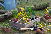 Kiste mit vorgetriebenen Zwiebelblumen zum Einpflanzen