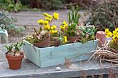 Winterlinge und Blausternchen in Holzkiste