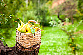 Freshly harvested pears in a basket on a tree stump in a garden