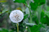 Dandelion clock in garden