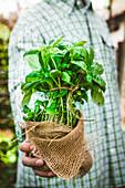 Fresh organic herbs