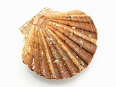 Whole scallop shell (top view)