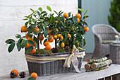 Calamondine und Kumquat in Korbkasten