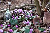 Frühlings-Alpenveilchen im Beet als Frühlingsbote