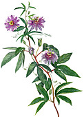 Passion flowers with leaves