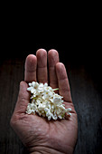 Jasmine Blossoms in Hand