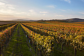 Vines in autumn, Burgenland, Austria