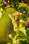 Ripe Sauvignon Blanc white wine grapes on a vine, Styria, Austria
