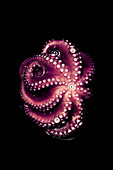 An octopus on a black surface