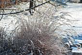 Chinaschilf mit Schnee gefroren im Garten