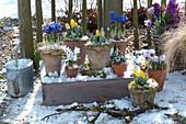 Tulpen und Iris in Töpfen verschneit am Gartenzaun