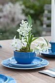 Milchstern in blauer Tasse als Tischdekoration
