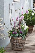 Magnolie mit Tulpen im Korb