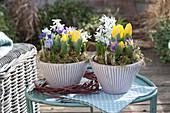 Bunte Frühlingstöpfe mit Krokus, Tulpen und Milchstern