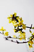 Flowering forsythia sprig