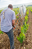 A winemaker plows a Domaine Julien Brocard vineyard in the Grand Cru Les Preuses with his horse